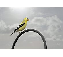 Yellow Finch - A bright spot of color Photographic Print