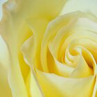 Yellow rose macro by mooksool
