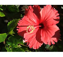 Hibiscus (3483) Photographic Print