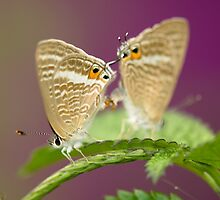 Butterfly mating by thousandsmile