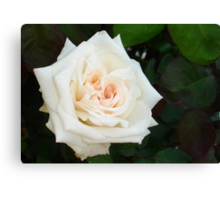White Rose With Natural Garden Background Canvas Print
