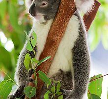 Koala by Jason Asher