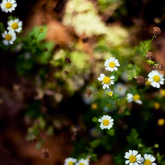 All summer she scattered the daisy leaves by Amber Gregory