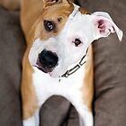 Asha the American Staffordshire Terrier by Charlotte Reeves