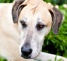 Chopper the Great Dane X by Charlotte Reeves