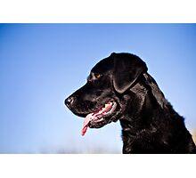 Dallas the Labrador Retriever Photographic Print