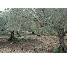 Olive Trees In All Their Starkness Photographic Print