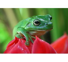 Green tree frog on red ginger flower Photographic Print