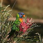 Rainbow Lorikeet by Anna Koetz