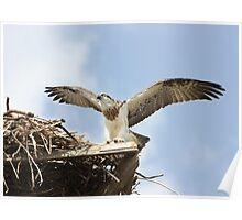 Juvenile Osprey a Day Before Fledging Poster