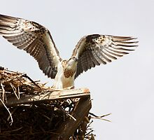 Juvenile Osprey a Day Before Fledging by byronbackyard