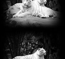 WHITE SIBERIAN TIGERS ON ROCK  by brevans