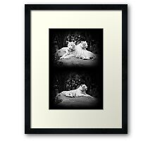 WHITE SIBERIAN TIGERS ON ROCK  Framed Print