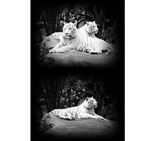 WHITE SIBERIAN TIGERS ON ROCK  Photographic Print