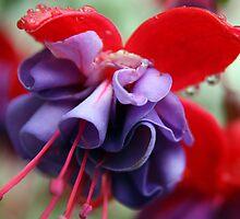 Pink & Purple Fuchsia Flower closeup 2 by Beninmanc