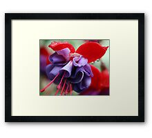 Pink & Purple Fuchsia Flower closeup 2 Framed Print