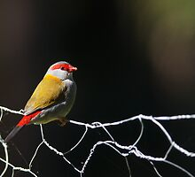 Red-browed Finch by David de Groot