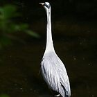 Water of Leith Heron by Pamela Baker