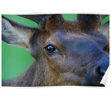 Eye of the Elk Poster