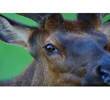 Eye of the Elk Photographic Print