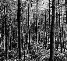 Delemere Forest in B&W No 2 by Karen  Betts