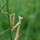 Curious Mantis 1 - Kurri Kurri NSW by CasPhotography