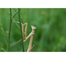 Curious Mantis 1 - Kurri Kurri NSW Photographic Print