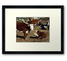 Hereford cows Framed Print