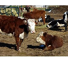 Hereford cows Photographic Print