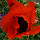 Red poppy by Pamela Baker