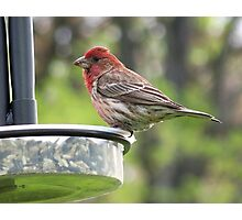 A male House Finch grabbing a snack. Photographic Print
