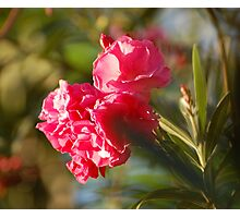 Pink petals greet the morning light. Photographic Print