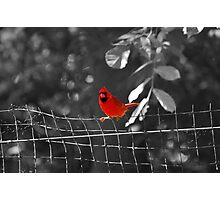 Bird on a Wire - Cardinal @ Brookfield Zoo, Chicago Photographic Print