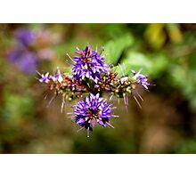 purple prickles Photographic Print
