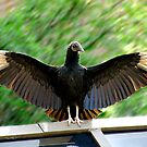 Vulture by bkphoto