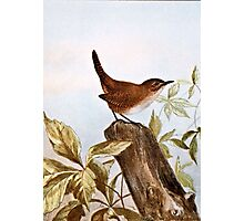House Wren Photographic Print