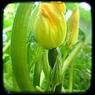 Zucchini baby by Northcote Community  Gardens
