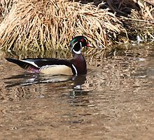 river wood duck by cougarman