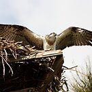 Juvenile Osprey by byronbackyard