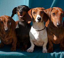 A gaggle of dachshunds! by Dana Kingsbury