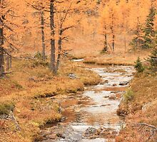 Ultimate Fall Larches,Sunshine Meadows, Banff National Park by Dana Kingsbury