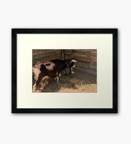 Silly Goat Framed Print