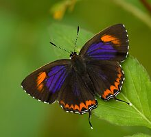 Lycaeninae butterfly by thousandsmile