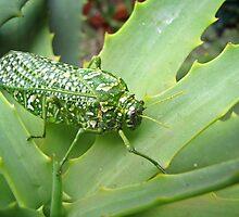 Silver-spotted Bladderhopper on an Aloe by Lee Jones