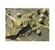 mussels, barnacles, limpets, oh my! (Seafield Beach) Art Print