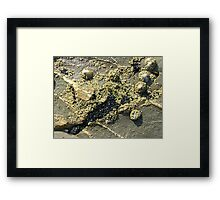 mussels, barnacles, limpets, oh my! (Seafield Beach) Framed Print