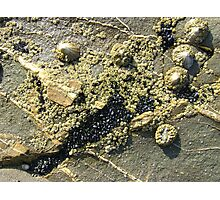 mussels, barnacles, limpets, oh my! (Seafield Beach) Photographic Print