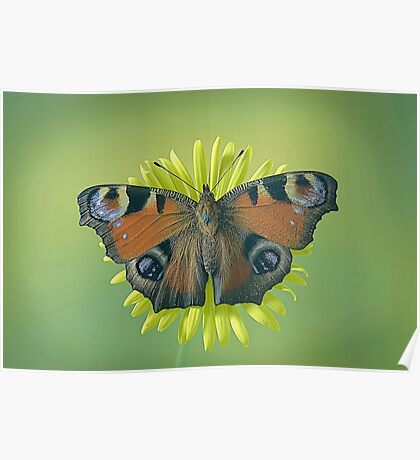 Peacock Butterfly on Dandelion. Poster