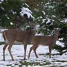 Pair of Doe In The Snow by Molly  Kinsey