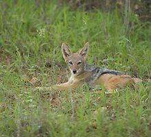 Lazy jackal cub by ivanpackerphoto